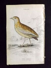 Jardine 1830's Antique Hand Col Bird Print. The White Spotted Ortygis